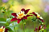 THE LYNDALLS, HEREFORDSHIRE: CLOSE UP OF RED AND YELLOW FLOWER OF DAHLIA CHAMBORAZO - COLLERETTE
