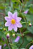 THE LYNDALLS, HEREFORDSHIRE: CLOSE UP OF LAVENDER COLOURED DAHLIA AUSTRALIS - PINK, TUBEROUS, PERENNIAL, FLOWER, PLANT PORTRAIT