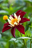 THE LYNDALLS, HEREFORDSHIRE: CLOSE UP OF RED AND YELLOW FLOWER OF DAHLIA CHAMBORAZO - COLLERETTE, PLANT PORTRAIT