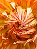 THE LYNDALLS, HEREFORDSHIRE: CLOSE UP OF ORANGE FLOWER OF DAHLIA AMARAN RELISH, BRONZE, DECORATIVE, PLANT PORTRAIT, TUBEROUS, PERENNIAL