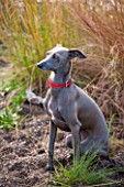 ELLICAR GARDENS, YORKSHIRE - DESIGNER SARAH MURCH - OCTOBER, AUTUMN, LUKA THE ITALIAN GREYHOUND DOG. PET, ANIMAL