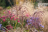 ELLICAR GARDENS, YORKSHIRE - DESIGNER SARAH MURCH - AUTUMN. OCTOBER - COUNTRY GARDEN - PLANT ASSOCIATION/ PLANT COMBINATION - ASTER ANDENKEN AN ALMA POTSCHKE, MISCANTHUS MALEPARTUS