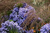 ELLICAR GARDENS, YORKSHIRE - DESIGNER SARAH MURCH - PLANT ASSOCIATION/ PLANT COMBINATION - ASTER LITTLE CARLOW AND MOLINIA CAERULEA SUBSP ARUNDINACEA WINDSPIEL - OCTOBER