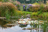 ELLICAR GARDENS, YORKSHIRE - DESIGNER SARAH MURCH - VIEW ACROSS NATURAL SWIMMING POND / POOL WITH CYPERUS LONGUS, ASTER LITTLE CARLOW, WATERLILIES - AUTUMN, OCTOBER, COUNTRY GARDEN