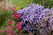 ELLICAR GARDENS, YORKSHIRE - DESIGNER SARAH MURCH - PLANT ASSOCIATION, PLANT COMBINATION - MOLINIA WINDSPIEL, ASTER LITTLE CARLOW, ASTER ANDENKEN AN ALMA POTSCHKE - OCTOBER