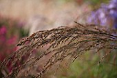 ELLICAR GARDENS, YORKSHIRE - DESIGNER SARAH MURCH - CLOSE UP OF MOLINIA CAERULEA ARUNDINACEA WINDSPIEL - GRASS, AUTUMN, LATE SUMMER, FLOWER, PLANT PORTRAIT