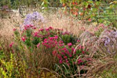 ELLICAR GARDENS, YORKSHIRE - DESIGNER SARAH MURCH - PLANT ASSOCIATION / PLANT COMBINATION - ASTER ANDENKEN AN ALMA POTSCHKE AND DESCHAMPSIA BRONZESCHLEIER - OCTOBER, BORDER, AUTUMN