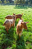 ELLICAR GARDENS, YORKSHIRE - DESIGNER SARAH MURCH - GOATS IN THE FIELD - ANIMALS, PETS