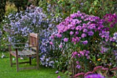 NORWELL NURSERIES, NOTTINGHAMSHIRE:WOODEN BENCH / SEAT - ASTER NOVAE-ANGLIAE NORWELL HYBRID AND ASTER LAEVIS ARCTURUS - MICHAELMAS DAISIES, AUTUMN, OCTOBER, BORDER