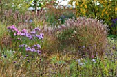 NORWELL NURSERIES, NOTTINGHAMSHIRE: BORDER WITH ASTERS - ASTER NOVAE-ANGLIAE AND MISCANTHUS SINENSIS CULTIVARS - MICHAELMAS DAISIES, AUTUMN, OCTOBER, BORDER, GRASSES