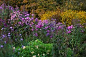 NORWELL NURSERIES, NOTTINGHAMSHIRE: BORDER OF ASTERS - ASTER NOVAE-ANGLIAE AND RUDBECKIA TRILOBA - MICHAELMAS DAISIES, FLOWERS, PINK - AUTUMN, OCTOBER, BORDER, COUNTRY GARDEN