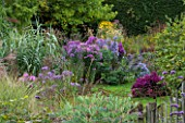 NORWELL NURSERIES, NOTTINGHAMSHIRE: VIEW ALONG GRASS PATH TO BORDER OF ASTERS - ASTER NERON AND ARUNDO DONAX - MICHAELMAS DAISIES, FLOWERS, PINK - AUTUMN, OCTOBER, COUNTRY GARDEN