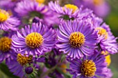NORWELL NURSERIES, NOTTINGHAMSHIRE: CLOSE UP OF PURPLE ASTER FLOWER - ASTER NOVAE- ANGLIAE NORWELL - DARK PURPLE, MICHAELMAS DAISY, AUTUMN, PLANT PORTRAIT, OCTOBER