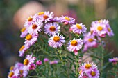 NORWELL NURSERIES, NOTTINGHAMSHIRE: PINK FLOWERS OF ASTER NOVAE-ANGLIAE SEEDLING. PLANT PORTRAIT, OCTOBER, FALL, AUTUMN, LATE SUMMER, PERRENIAL