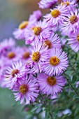 NORWELL NURSERIES, NOTTINGHAMSHIRE: CLOSE UP OF PINK / BLUE / MAUVE FLOWERS OF MICHAELMAS DAISY - ASTER NOVAE-ANGLIAE MRS WRIGHT. PLANT PORTRAIT, OCTOBER, AUTUMN, PERENNIAL