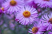 NORWELL NURSERIES, NOTTINGHAMSHIRE: CLOSE UP OF PINK / BLUE / MAUVE FLOWERS OF MICHAELMAS DAISY - ASTER NOVAE-ANGLIAE SEEDLING. PLANT PORTRAIT, OCTOBER, FALL, AUTUMN, PERENNIAL
