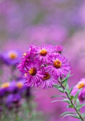 NORWELL NURSERIES, NOTTINGHAMSHIRE: CLOSE UP OF PINK ASTER FLOWER - ASTER NOVAE- ANGLIAE CRIMSON BEAUTY - MICHAELMAS DAISY, AUTUMN, PLANT PORTRAIT, OCTOBER