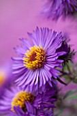 NORWELL NURSERIES, NOTTINGHAMSHIRE: CLOSE UP OF PURPLE ASTER FLOWER - ASTER NOVAE- ANGLIAE VIOLETTA - MICHAELMAS DAISY, AUTUMN, PLANT PORTRAIT, OCTOBER