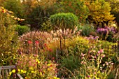 NORWELL NURSERIES, NOTTINGHAMSHIRE: ASTERS - MICHAELMAS DAISIES, GRASSES AND LOBELIA TUPA - BACKLIT BY EVENING SUN -  AUTUMN, OCTOBER, COUNTRY GARDEN, FALL, PLANT ASSOCIATION