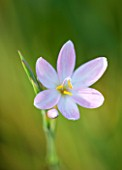 NORWELL NURSERIES, NOTTINGHAMSHIRE: CLOSE UP OF PALE PINK FLOWER OF SCHIZOSTYLIS COCCINEA PALLIDA - PLANT PORTRAIT, AUTUMN, OCTOBER, SINGLE,