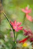NORWELL NURSERIES, NOTTINGHAMSHIRE: CLOSE UP OF PINK FLOWER OF SCHIZOSTYLIS COCCINEA ROSEA - PLANT PORTRAIT, AUTUMN, OCTOBER, SINGLE, BLOOM,