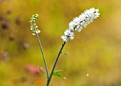 NORWELL NURSERIES, NOTTINGHAMSHIRE: CLOSE UP OF WHITE FLOWER OF ACTAEA SIMPLEX WHITE PEARL - PLANT PORTRAIT, AUTUMN, OCTOBER, SINGLE, BLOOM, PERENNIAL