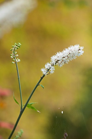 NORWELL_NURSERIES_NOTTINGHAMSHIRE_CLOSE_UP_OF_WHITE_FLOWER_OF_ACTAEA_SIMPLEX_WHITE_PEARL__PLANT_PORT