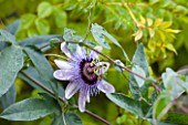 RHS GARDEN, WISLEY, SURREY: CLOSE UP OF THE PURPLE FLOWER OF PASSIFLORA BETTY MYLES YOUNG - PASSION FLOWER, CLIMBER, CLIMBING, VINE, OCTOBER, PLANT PORTRAIT
