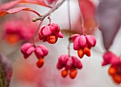 RHS GARDEN, WISLEY, SURREY: CLOSE UP EUONYMUS EUROPAEUS RED CASCADE - PLANT PORTRAIT, BERRY,  BERRIES, SHRUB, DECIDUOUS, AUTUMN, FALL, FRUIT, PINK, ORANGE, FRUIT, SPINDLE, SEED POD