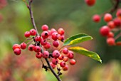 RHS GARDEN, WISLEY, SURREY: CLOSE UP FRUIT OF CRAB APPLE - MALUS ADIRONDACK - CRABAPPLE, FRUIT, AUTUMN, RED, FALL, BERRY, BERRIES