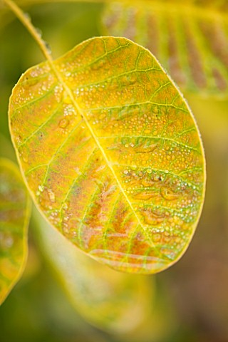 RHS_GARDEN_WISLEY_SURREY_LEAF_OF_COTINUS_COGGYGRIA_GOLDEN_SPIRIT__ANCOT_SMOKE_BUSH_DECIDUOUS_SHRUB__