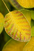 RHS GARDEN, WISLEY, SURREY: LEAF OF COTINUS COGGYGRIA GOLDEN SPIRIT = ANCOT. SMOKE BUSH, DECIDUOUS, SHRUB, - LEAVES, FOLIAGE, OCTOBER, AUTUMN