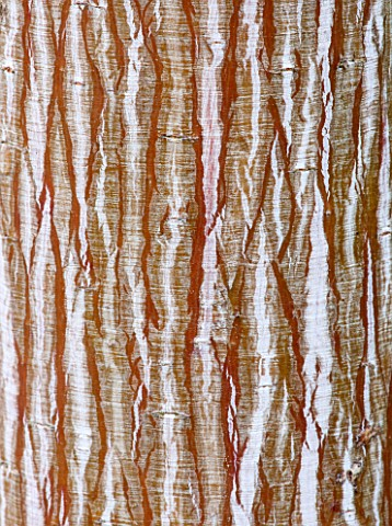 RHS_GARDEN_WISLEY_SURREY_CLOSE_UP_OF_BARK_OF_SNAKE_BARK_MAPLE__ACER_DAVIDII_VIPER__MINDAVI__SNAKEBAR