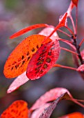 RHS GARDEN, WISLEY, SURREY: AUTUMNAL LEAVES OF COTINUS COGGYGRIA ROYAL PURPLE, SHRUB, DECIDUOUS, AUTUMN, OCTOBER, PLANT PORTRAIT, LEAF, FALL, FOLIAGE, SMOKE BUSH, SMOKEBUSH