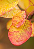 RHS GARDEN, WISLEY, SURREY: AUTUMNAL LEAVES OF COTINUS COGGYGRIA PINK CHAMPAGNE - SHRUB, DECIDUOUS, AUTUMN, OCTOBER, PLANT PORTRAIT, LEAF, FALL, FOLIAGE, SMOKE BUSH