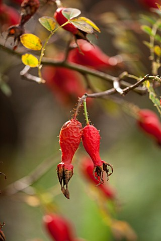 HOLE_PARK_KENT_ROSE_HIP_OF_ROSA_MOYESII_IN_AUTUMN__RED_AUTUMN_PLANT_PORTRAIT_OCTOBER_FRUIT_BERRY_BER