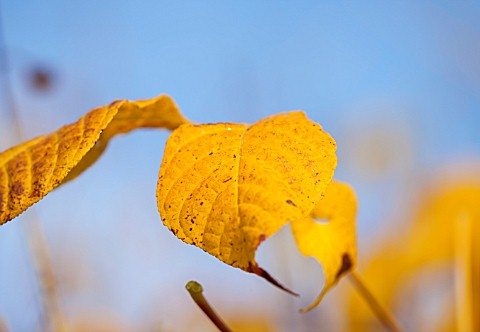 HOLE_PARK_KENT_CLOSE_UP_OF_YELLOW_AUTUMNAL_LEAF_OF_AESCULUS_PARVIFLORA__BOTTLEBUSH_BUCKEYE_TREE__DEC