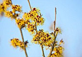 WITCH HAZEL NURSERY, SITTINGBOURNE, KENT: WITCH HAZEL PLANT PORTRAIT - HAMAMELIS X INTERMEDIA ADVENT - WINTER, JANUARY, SHRUB, SHRUBS, FRAGRANT, FRAGRANCE, YELLOW, SCENTED
