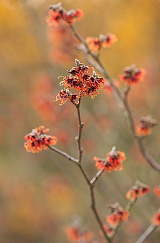 WITCH_HAZEL_NURSERY_SITTINGBOURNE_KENT_WITCH_HAZEL_PLANT_PORTRAIT__HAMAMELIS_X_INTERMEDIA_AGNES__WIN