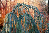 RHS GARDEN, WISLEY, SURREY: PLANT PORTRAIT OF WEEPING TREE - CEDRUS ATLANTICA ( GLAUCA GROUP ) GLAUCA PENDULA IN WINTER. GREEN, WEEP, EVERGREEN, JANUARY