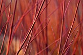 RHS GARDEN, WISLEY, SURREY: CLOSE UP PLANT PORTRAIT OF STEM OF CORNUS SERICEA CARDINAL. RED, ORANGE, BARK, TWIG, WINTER, JANUARY, SHRUB