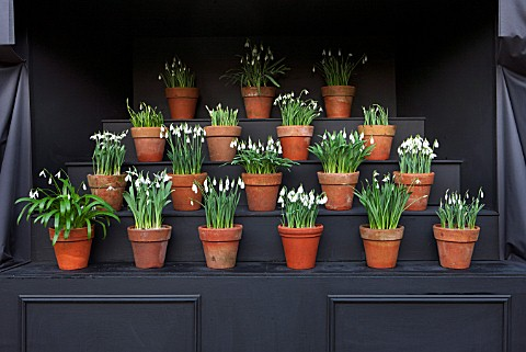CHELSEA_PHYSIC_GARDEN_LONDON_SNOWDROP_THEATRE__SNOWDROPS_IN_TERRACOTTA_CONTAINERS__BULBS_DISPLAY_DIS