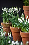 CHELSEA PHYSIC GARDEN, LONDON: SNOWDROPS IN SNOWDROP THEATRE - GALANTHUS BRENDA TROYLE - DISPLAY, DISPLAYED, TERRACOTTA, CONTAINER, POT, SNOWDROP, BULB, BULBS