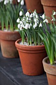 CHELSEA PHYSIC GARDEN, LONDON: SNOWDROPS IN SNOWDROP THEATRE - GALANTHUS FALKLAND HOUSE - DISPLAY, DISPLAYED, TERRACOTTA, CONTAINER, POT, SNOWDROP, BULB, BULBS