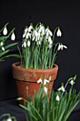 CHELSEA PHYSIC GARDEN, LONDON: SNOWDROPS IN SNOWDROP THEATRE - GALANTHUS SIR HERBERT MAXWELL - DISPLAY, DISPLAYED, TERRACOTTA, CONTAINER, POT, SNOWDROP, BULB, BULBS