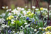 CHELSEA PHYSIC GARDEN, LONDON: WINTER PLANTING BESIDE THE STATUE WITH PRIMULAS AND GALANTHUS HIPPOLYTA - BULB, BULBS