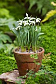 CHELSEA PHYSIC GARDEN, LONDON: TERRACOTTA CONTAINER IN THE FERNERY PLANTED WITH SNOWDROPS - GALANTHUS AILWYN - BULB, POT, BULBS, SNOWDROP