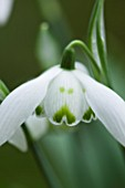 CHELSEA PHYSIC GARDEN, LONDON: CLOSE UP PLANT PORTRAIT OF SNOWDROP - GALANTHUS AILWYN - SNOWDROP, WHITE, FLOWER, GREEN MARKINGS, BULB, WINTER, JANUARY