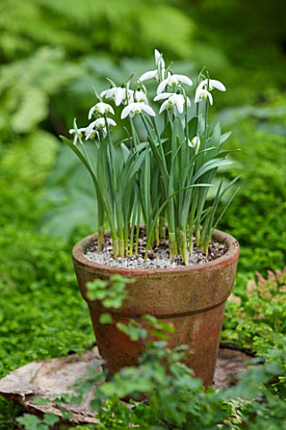 CHELSEA_PHYSIC_GARDEN_LONDON_TERRACOTTA_CONTAINER_IN_THE_FERNERY_PLANTED_WITH_SNOWDROPS__GALANTHUS_A
