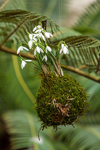 CHELSEA_PHYSIC_GARDEN_LONDON_SNOWDROPS__GALANTHUS_NIVALS__PLANTED_IN_MOSS_HANGS_FROM_A_CYATHEA_IN_TH